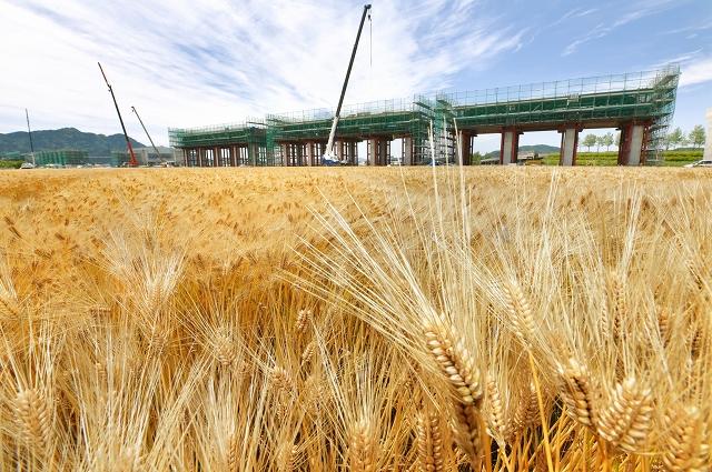 北陸新幹線の高架橋工事が進む中、黄金色に輝く六条大麦=5月22日、福井県福井市下莇生田町