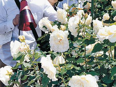 バラ美しく 金沢南総合運動公園