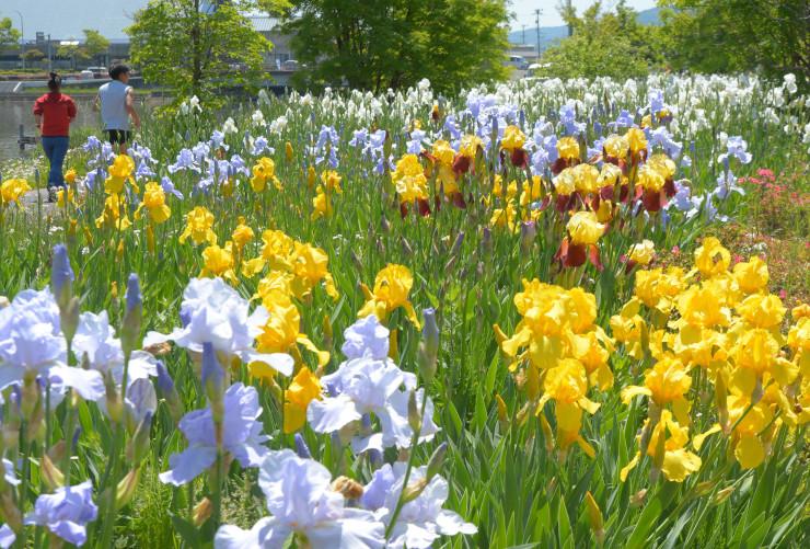 色とりどりの大ぶりな花を咲かせているジャーマンアイリス