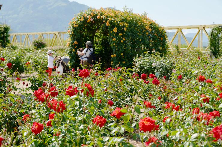 赤や黄など色とりどりの花が咲き始めた坂城町の「ばら祭り」