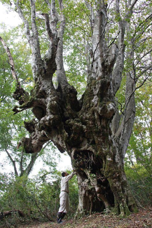奥胎内にそびえる国内最大級のブナの異形樹。迫力だけでなく、登山道から手近にあるのも魅力だ=胎内市