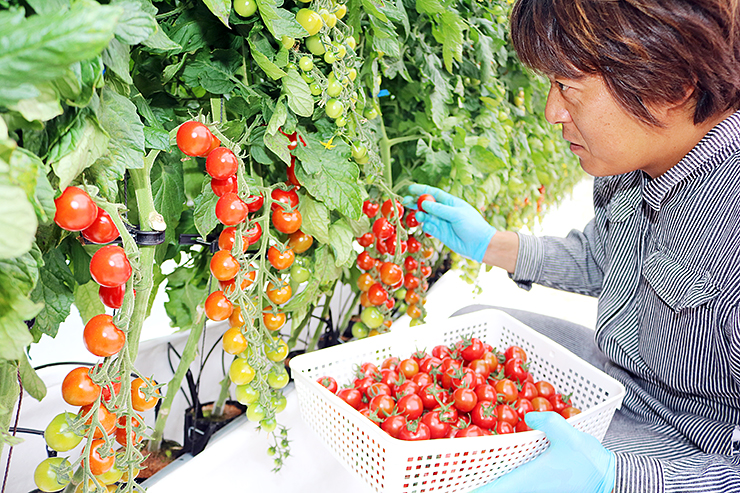赤く色づいた深層水トマトを摘み取る石倉さん