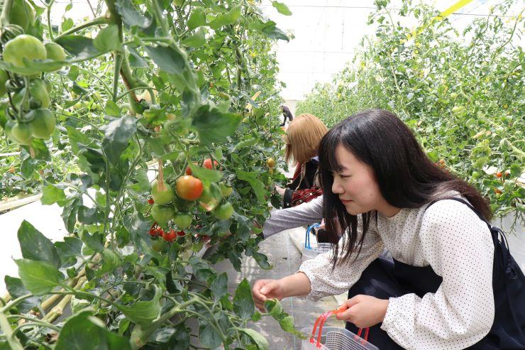 赤く色付いた「うららトマト」を摘み取って味わう人たち=阿賀野市村杉