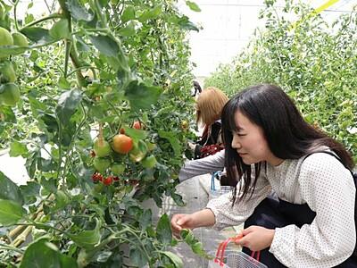うららトマト食べてみて 摘み取り体験でPR 阿賀野