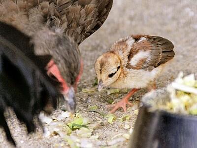 絶滅恐れのキジの仲間 コサンケイのひな、すくすく成長