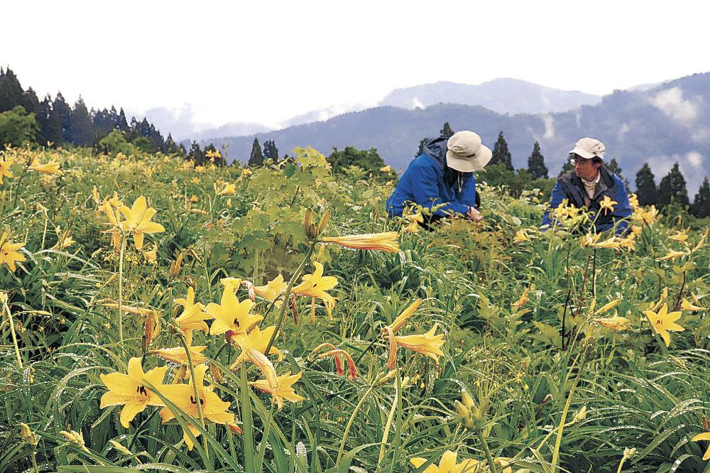 鮮やかな黄色の花を咲かせるニッコウキスゲ=白山市白峰の白山高山植物園