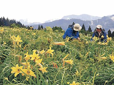 白山高山植物園きょう(1日)からオープンガーデン 鮮やか黄色の園
