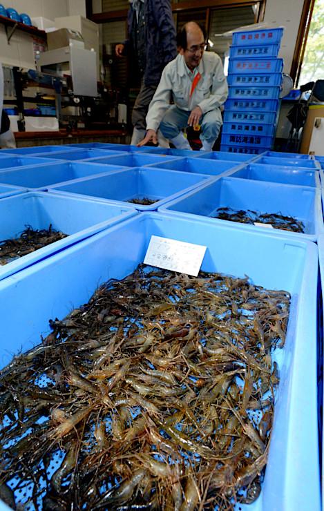 解禁された籠漁で早速水揚げされたテナガエビ