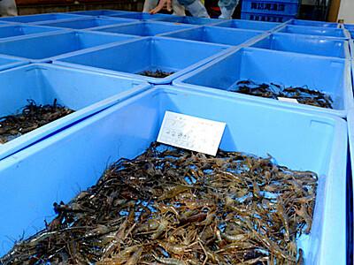 テナガエビ 6月の宝石 諏訪湖で漁解禁