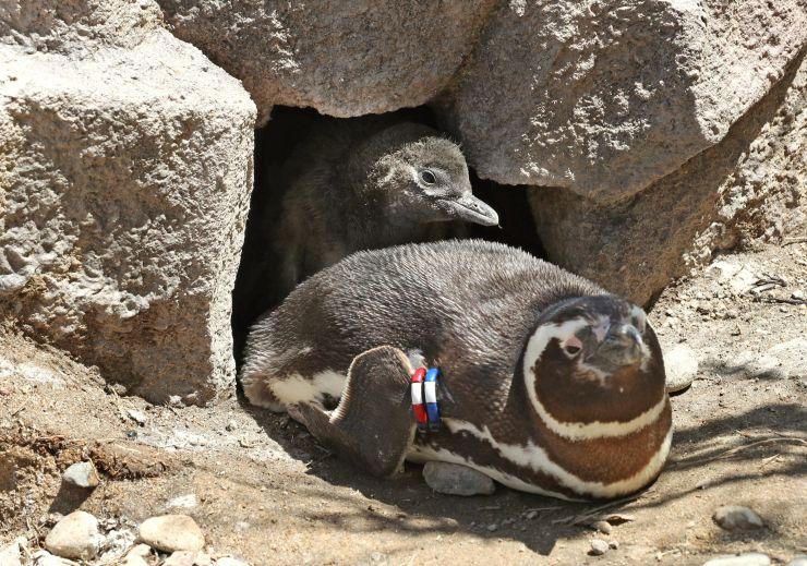 巣穴から顔を出したマゼランペンギンのひな(奥)。