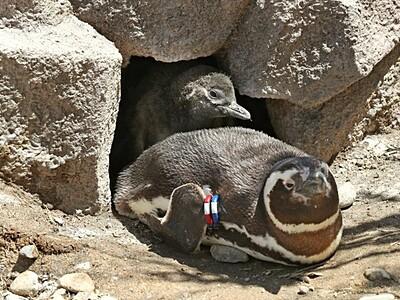 上越うみがたり ペンギンひな20羽誕生 珍ナマコも展示