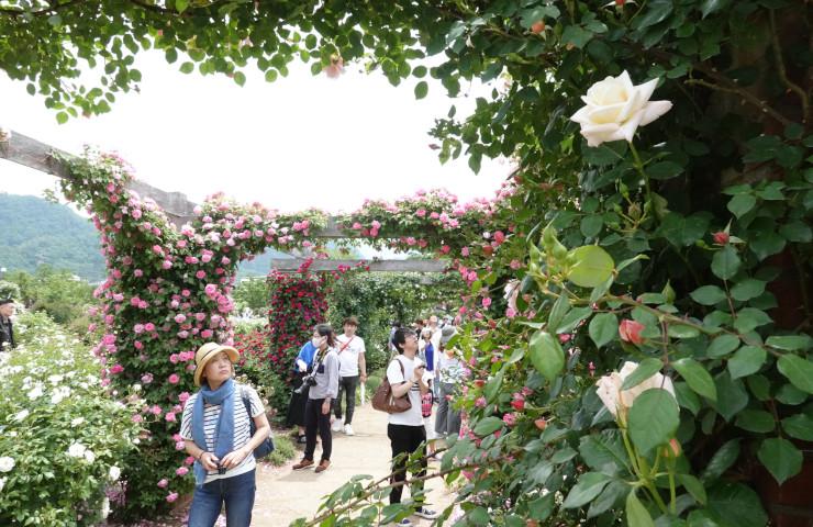 多くのバラの花が咲いている公園内を見て回る来園者たち=2日、中野市一本木公園