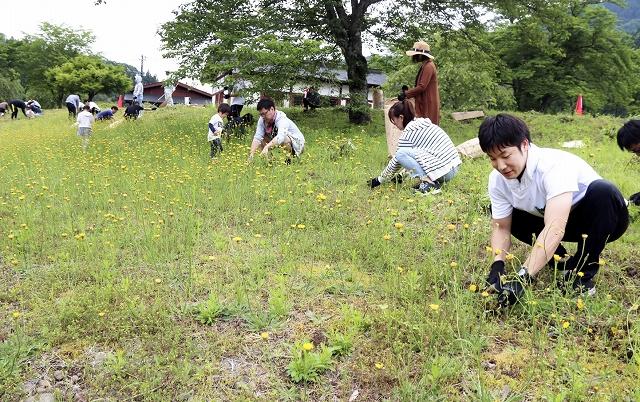 ブタナを刈り取る福井精米の社員ら=6月2日、福井県福井市の一乗谷朝倉氏遺跡