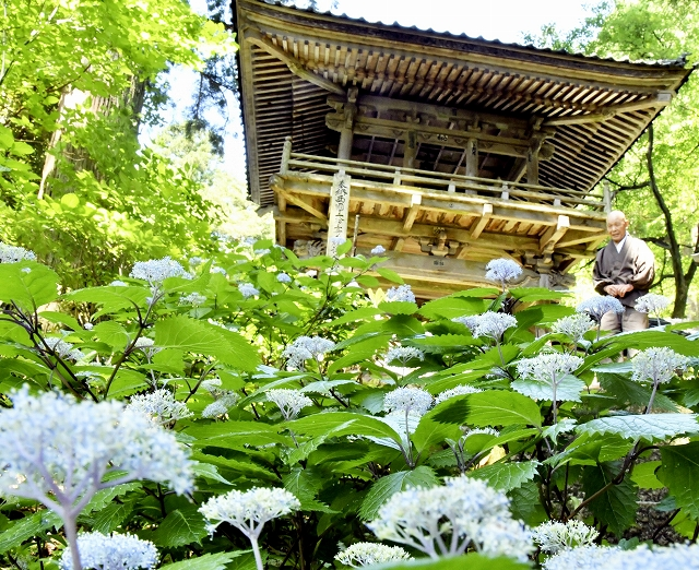 淡い青色の花を咲かせるコアジサイ=6月3日、福井県大野市下黒谷の国生山佛性寺