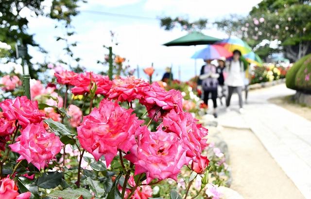 見頃を迎えているバラ園=6月3日、福井県美浜町と若狭町にまたがるレインボーライン山頂公園