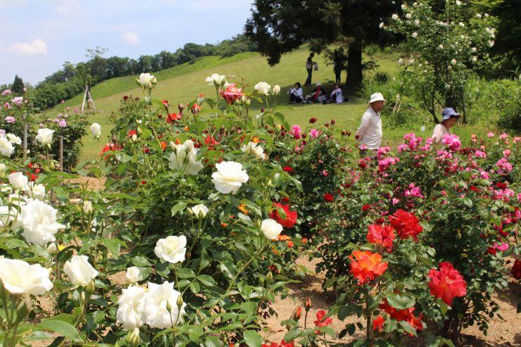 色とりどりのバラが咲き誇る冬鳥越スキーガーデンの園内=4日、加茂市長谷
