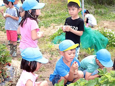 園児招きイチゴ狩り 福光の立野原観光農園 豊作に感謝