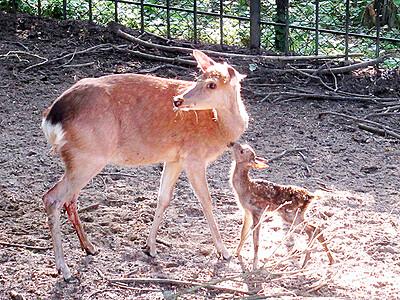 ホンシュウジカに赤ちゃん ファミリーパークが公開