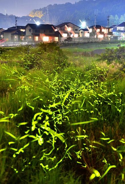 荒川沿いを幻想的に乱舞するゲンジボタルの光跡=6月6日午後8時50分ごろ、福井県永平寺町松岡吉野