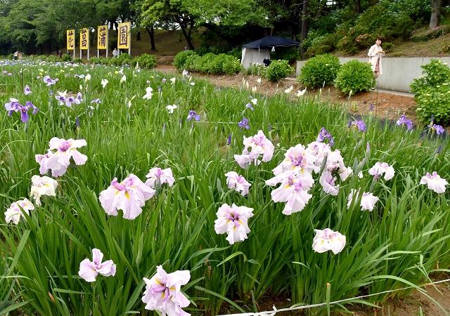 かれんな花が咲き誇る「花菖蒲まつり」=6月8日、福井県あわら市北潟