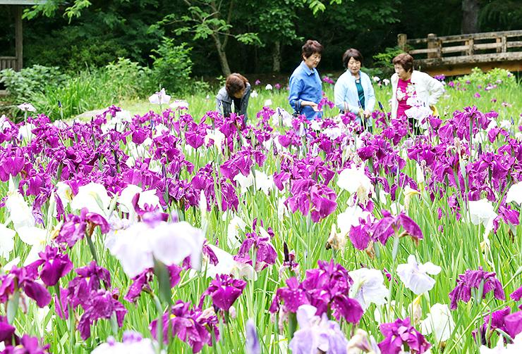紫と白の花を咲かせたハナショウブ=行田公園