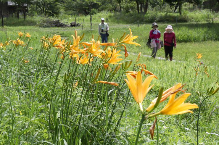 湿地に群れ咲くニッコウキスゲ=11日、長岡市の雪国植物園