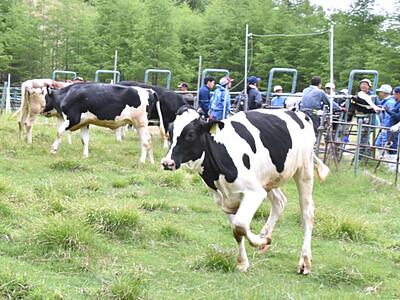 大自然、モウ最高 伊那・入笠牧場で放牧始まる