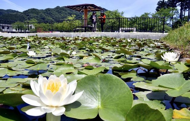初夏の水面を彩るスイレンの花=福井県越前市の万葉の里味真野苑