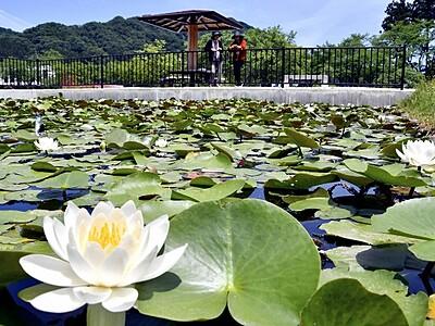 スイレンが見頃 梅雨に彩り 福井・越前市の味真野苑