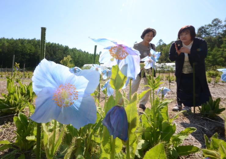 大鹿村の標高約1500メートルの畑に開花した青いケシ