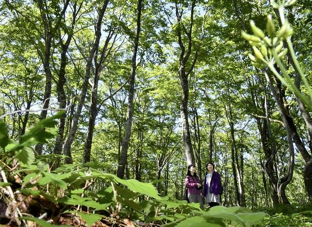 木漏れ日が降り注ぎ、緑が深まるブナ林=6月13日、福井県大野市巣原の平家平