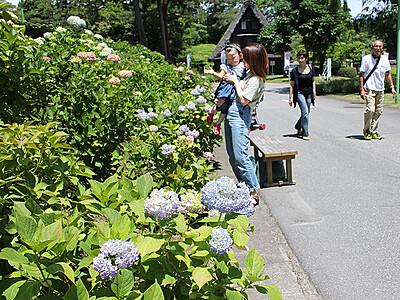 太閤山ランドであじさい祭り 見頃は今月下旬