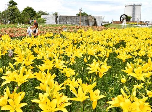 見頃を迎えている色とりどりのユリの花=6月14日、福井県坂井市ゆりの里公園