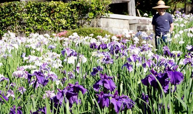 境内を彩る紫や白のハナショウブ=福井県小浜市浅間の常高寺