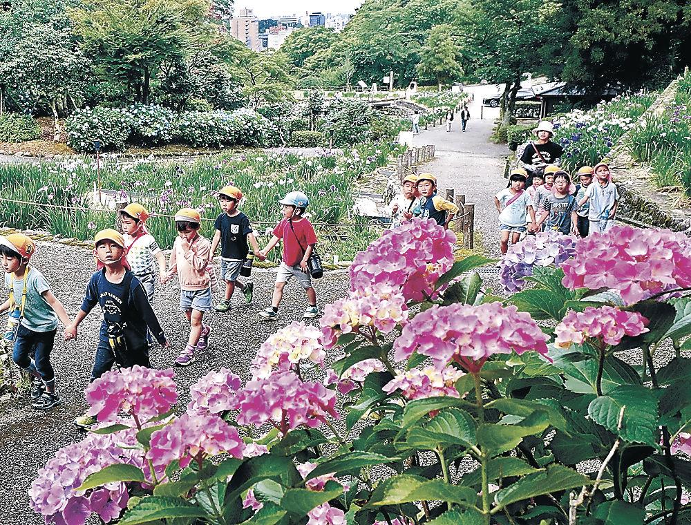 アジサイが咲く遊歩道を散策する園児=卯辰山花菖蒲園