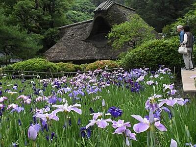 緑と紫 山里のアート 坂井・千古の家でハナショウブ見頃