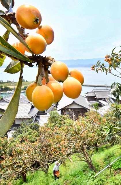 収穫のピークを迎え、たわわに実ったビワ=6月19日、福井県おおい町大島