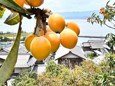 福井県おおい町のビワ「10年に1度の大豊作」
