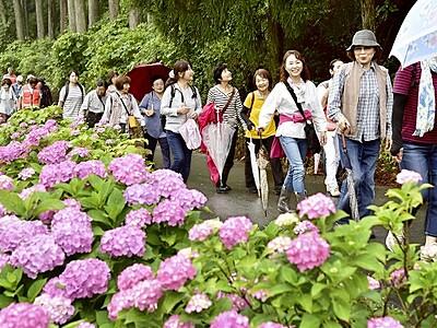 鮮やかアジサイ、歩いて満喫 鯖江、住民団体が催し