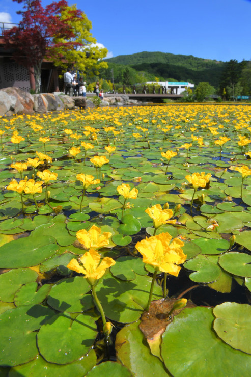 人工湖を黄色い花で染めるアサザ