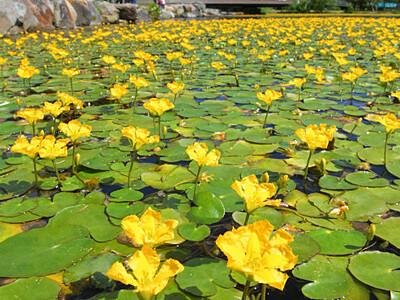 黄色いアサザ、初夏に彩り 白樺湖畔の人工湖