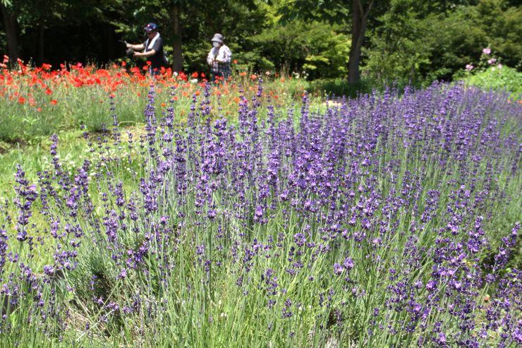 園内が紫色に染まった「ラベンダーフェスティバル」=26日、阿賀町津川