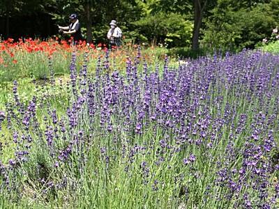 芳香漂う紫の園 阿賀でラベンダーフェス