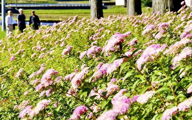 淡いピンク色の花を咲かせるシモツケ=6月26日、福井県大野市蕨生の埴安姫神社