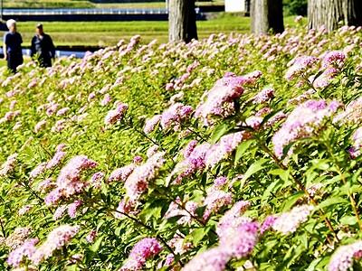 シモツケの花かれん 埴安姫神社で見頃 福井・大野