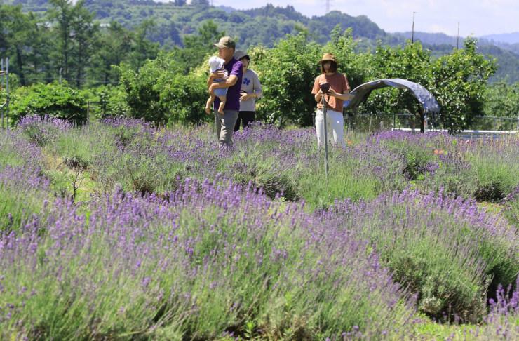 見頃を迎えたラベンダー農園。爽やかな香りが漂う