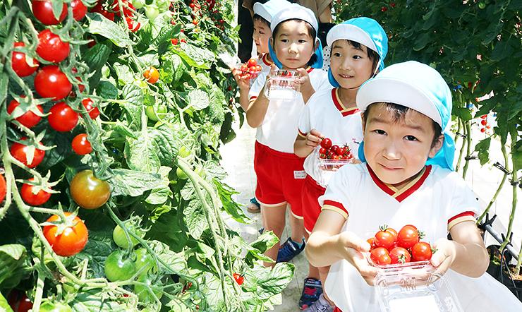 赤く色づいたミニトマトをたくさん収穫する子どもたち=滑川市笠木
