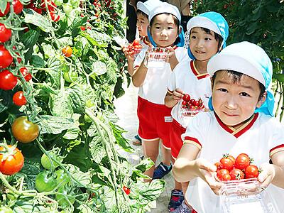 深層水トマト甘くておいしい 滑川、園児が摘み取り体験