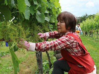 ブドウの葉摘み、ボランティアが汗 上田・メルシャンの農場