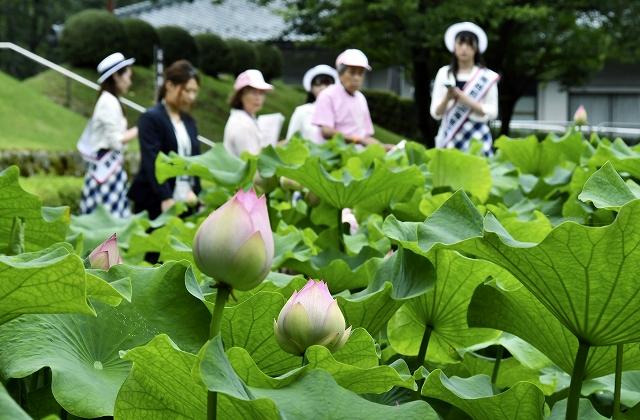 まつりが開幕、見ごろを迎えた花はす=6月29日、福井県南越前町の花はす公園